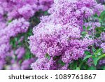 lilacs in the garden. blooming... | Shutterstock . vector #1089761867