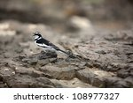 Pied Wagtail Walking On The...
