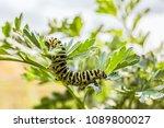 green striped caterpillar... | Shutterstock . vector #1089800027