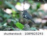 ashy thrush  geokichla cinerea  ... | Shutterstock . vector #1089825293