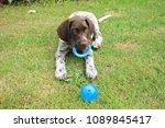 german shorthaired pointer male ... | Shutterstock . vector #1089845417