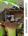 Small photo of Titan arum (Amorphophallus) blooming in home garden. Smell is very bad. Stink like a corpse. Bigest flower.