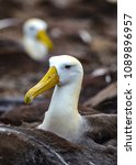 waved albatross  also known as... | Shutterstock . vector #1089896957