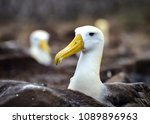 waved albatross  also known as... | Shutterstock . vector #1089896963