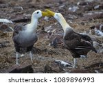 waved albatross  also known as... | Shutterstock . vector #1089896993