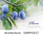 Plums On Branch With Copyspace