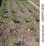 Small photo of Young Home Grown Organic Shallot Plant (Allium cepa) on an Allotment in a Vegetable Garden in Rural Devon, England, UK