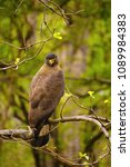 Small photo of Crested serpent eagle, Spilornis cheela, Accipitridae, Madhya Pradesh state of India