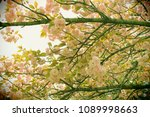 double cherry blossom tree toy... | Shutterstock . vector #1089998663