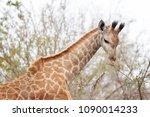young giraffe  giraffa...   Shutterstock . vector #1090014233