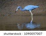 little blue heron   egretta... | Shutterstock . vector #1090057007