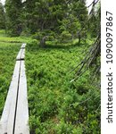 Small photo of Duckboards in primeval forest going over bluberry and crowberry bare twing bushes undergrowth ground old big Norway spruces along hiking trail in Kuusamo Lapland Finland sport activities in nature