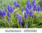 blue bell flowers  shallow...