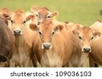 Jersey milk cows in a field in the dairy region of Northwest Oregon - stock photo