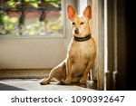 podenco dog enjoying the warm... | Shutterstock . vector #1090392647
