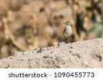 Small photo of Grey Wag Tail
