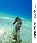 thorny seahorse  hippocampus... | Shutterstock . vector #109045667