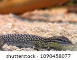 alligator lizard. elgaria... | Shutterstock . vector #1090458077
