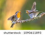parent robin bird  erithacus... | Shutterstock . vector #1090611893