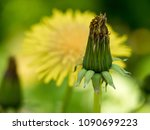 dandelion bud in the foreground ... | Shutterstock . vector #1090699223