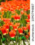 field of red tulips in holland | Shutterstock . vector #1090794887