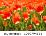 field of red tulips in holland | Shutterstock . vector #1090794893