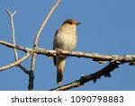 nightingale sitting on a branch ... | Shutterstock . vector #1090798883