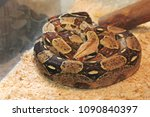 big snake in the terrarium | Shutterstock . vector #1090840397