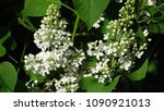 white lilac. white lilac...   Shutterstock . vector #1090921013