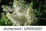 white lilac. white lilac...   Shutterstock . vector #1090921037