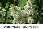 white lilac. white lilac...   Shutterstock . vector #1090921043