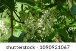 white lilac. white lilac...   Shutterstock . vector #1090921067