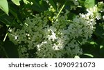 white lilac. white lilac...   Shutterstock . vector #1090921073