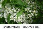 white lilac. white lilac...   Shutterstock . vector #1090921103
