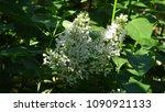 white lilac. white lilac...   Shutterstock . vector #1090921133