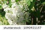white lilac. white lilac...   Shutterstock . vector #1090921157