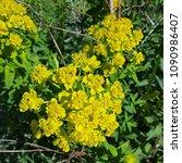marsh spurge or marsh euphorbia ...   Shutterstock . vector #1090986407