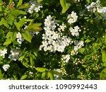 spiraea cinerea 'grefsheim' ... | Shutterstock . vector #1090992443