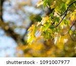 colorful green   yellow autumn... | Shutterstock . vector #1091007977