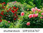 Stock photo rose on the bush beautiful flower heads at spring in garden 1091016767