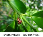 Ladybird Mating Season