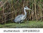 grey heron  ardea cinerea ... | Shutterstock . vector #1091083013