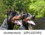 couple of big black doberman... | Shutterstock . vector #1091102393