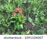 Primula Veris  Cowslip  Common...