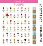 tulip varieties flat icon set....   Shutterstock .eps vector #1091113307