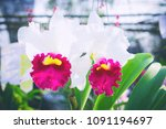 beautiful orchid flower with... | Shutterstock . vector #1091194697