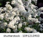 spiraea cinerea 'grefsheim' ... | Shutterstock . vector #1091213903