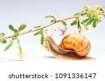 helix pomatia and goji flowers... | Shutterstock . vector #1091336147