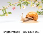 snail and goji flowers on a... | Shutterstock . vector #1091336153