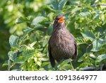 Turdus Merula Common Blackbird...